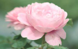 roza-rozovaya-svetlaya-lepestki